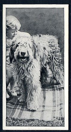 Old english sheepdog dogs & friend Carrearas vintage cigarette tobacco card