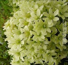 Clematis 'Pixie' - A compact variety that would be great in a large container. Height 2-4 feet.