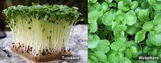 verschil tussen waterkers en tuinkers