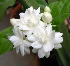 Gambar Bunga Melati Putih Tercantik Flower JasmineMy LOve