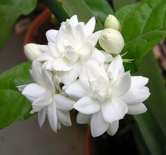 140mm jasminum sambac grand duke arabian jasmine grow it easy range garden pinterest duke - Scented indoor plants that give your home a great fragrance ...