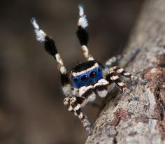 Peacock jumping spiders: Undescribed bluefaced species