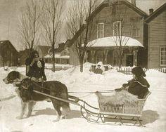 Saint Bernard sled dog in Michigan,colección C.H.