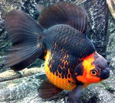 Red-Black Ryunkin www.fishkeeper.co.uk #FancyGoldfish