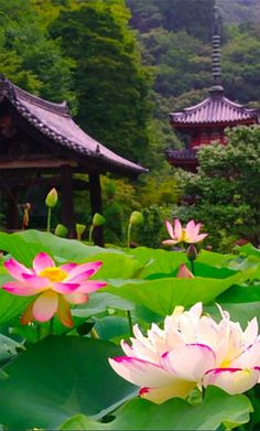Lotus flowers at Mimuroto-ji Temple in Kyoto, Japan • photo: via Abdoulhamide…