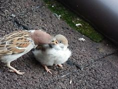 すずめの親子 Cute Birds, Small Birds, Little Birds, Beautiful Birds, Animals Beautiful, Animals And Pets, Cute Animals, Parus Major, Sparrow Bird