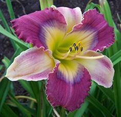 Daylily, Hemerocallis 'Butterfly Wishes'