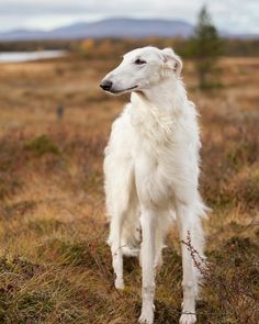 """We love nature, that's why we left the city life and moved into the Scandinavia. Borzoi Dog, Whippets, Afghan Hound, Creature Comforts, Crazy Dog, Dog Art, Animals And Pets, Cute Puppies, Dog Lovers"