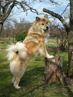 Eurasier. This dog breed looks so much like Kahlua. It's a mix of chow-chow, wolfspitz and Samoyed.