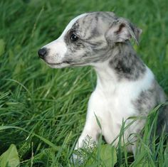 ~ Whippet Puppy ~