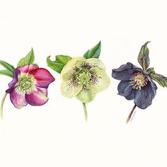 I wish you a peace and joy at Christmas and a very happy New Year! Warm wishes from Indonesia to you and beloved ones . #christmasrose #helleborus #hellebore
