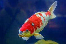 Having a koi aquaponics system might be a good idea. But koi doens't taste that good. It's an ornamental fish that is used in ponds. Koi Fish Pond, Koi Carp, Fish Ponds, Aquaponics System, Hydroponic Farming, Indoor Aquaponics, Best Fish For Aquaponics, Fish Information, Common Carp