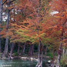 """Take Your Breath Away Moments"" Cypress Trees Changing on the Guadalupe!"