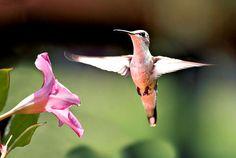 Hummingbird flying | Hummingbird flowers, feeders n photos