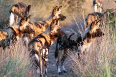 wild dogs watching