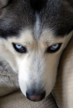 Serious look #dog #husky #animal
