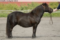 Shetland Pony - mare Linnestofta Harmoni