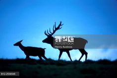 Red deer, Stag and hind, Cervus elaphus, Germany. © Henry Ausloos / age fotostock - Stock Photos, Videos and Vectors