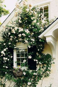 Rambling roses around a cottage window