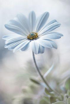 Wallpaper flores margaridas 20 ideas for 2019 My Flower, Pretty Flowers, White Flowers, Single Flowers, Anemone Flower, Daisy Flowers, Tropical Flowers, Daisy Love, Blue Daisy