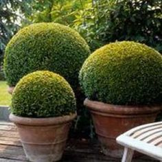 If you are searching for the perfect garden plant, consider growing Boxwood, also known as Buxus sempervirens or Box.