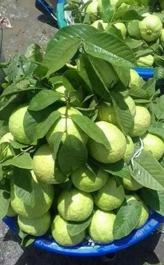 ✍️✍️ ___ Hi friends These fruits are very tasty and delicious in your area Please comment ✍️✍️ ___ Fruit Tree Garden, Fruit Plants, Fruit Trees, Fruit And Veg, Fruits And Veggies, Fresh Fruit, Vegetables, Guava Fruit, Grape Vineyard