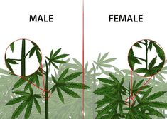 How to Identify Female and Male Marijuana Plants. If you are growing marijuana for medicinal purposes, you need to know how to identify female and male marijuana plants. Almost all growers prefer female marijuana plants because only. Cannabis Edibles, Cannabis Plant, Cannabis Cultivation, Weed Plants, Medicinal Plants, Medical Marijuana, Weed, Growing Vegetables, Weed Art