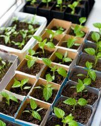 Nutzgarten Tipps für Januar - Paprika, Radieschen pflanzen, Stecklinge v. Beeren sammeln #diy