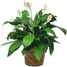 Order Medium Spathiphyllum Plant from Preston Flowers, your local Cary florist. Send Medium Spathiphyllum Plant for fresh and fast flower delivery throughout Cary, NC area. Cheap Flowers, Fall Flowers, White Flowers, Gift Flowers, Send Flowers, Fresh Flowers, Peace Lily Indoor, Peace Lily Plant, Fresh Flower Delivery