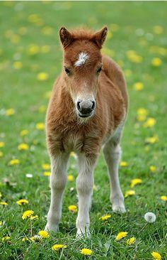 shetland foal   Tumblr