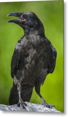 Raven Bird, Crow Bird, Corvo Tattoo, Raven Photography, Raven Pictures, Jackdaw, Crows Ravens, Bird Species, Spirit Animal