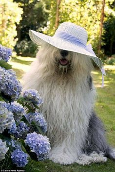 Shaggy Old English sheepdogs star in super-cute photos together Animals And Pets, Funny Animals, Cute Animals, Beautiful Dogs, Animals Beautiful, Cute Puppies, Dogs And Puppies, Pet Dogs, Dog Cat