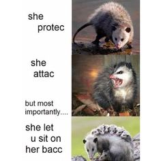Idk why I laughed. Funny Birds, Cute Funny Animals, Cute Baby Animals, Funny Cute, Raccoons, Ferrets, Opossum, Cute Creatures, Funny Animal Pictures
