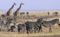 Are You Interested To Have Best #Adventurous Trip In #Tanzania? Visit @ http://enricosafaris.com/safaris.html To Find Your Best Results.
