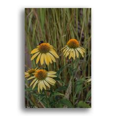 Pastel Yellow Cone Flowers