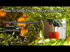 How to Grow Fruit Trees in Containers?  learn all about how to grow dwarf fruit trees in pots and different containers, lots of tips and great ideas from Marty Ware at the Potted Vegetable Garden