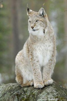 Eurasian Lynx - I've seen Lynx but not like that one Most Beautiful Animals, Beautiful Cats, Eurasian Lynx, Iberian Lynx, Lynx Lynx, Animals And Pets, Cute Animals, Wild Animals, Arrogant Cat
