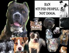 ban stupid people not pitbulls photo: ban stupid people not pitbulls pitbulls.jpg
