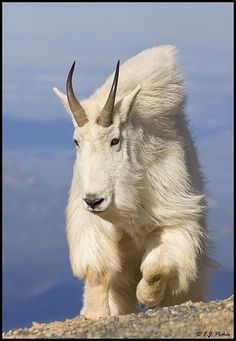 Mountain Goat | by rarecollection.ch