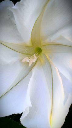 Moon flower in white garden