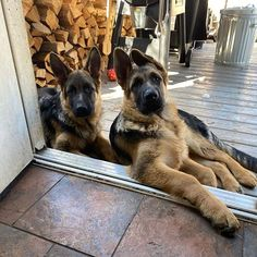 A woman revealed it took DAYS to get her 17 cats and dogs to pose together for a picture German Shepherd Photos, German Shepherd Puppies, German Shepherds, Gsd Puppies, Puppies Tips, Gsd Dog, Chihuahua Dogs, Schaefer, Tier Fotos