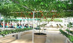 The Sustainable Agriculture and Research Center at Walt Disney World. This is a 6 month old tomato plant!