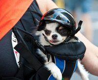 Bolsa canguru para levar o seu pet para passear, e capacete para a segurança dele!