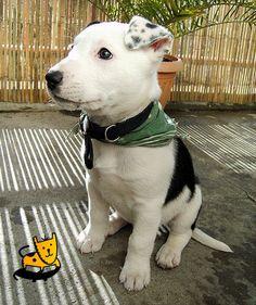 English Bull Terrier cross Collie :O