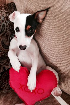 Happy Valentines Day!  Love, Harley the Jack Russell Terrier