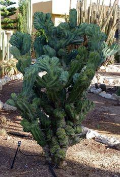 Cereus Peruvianus Monstrosa