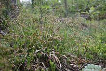 Kevätpiippo – Wikipedia