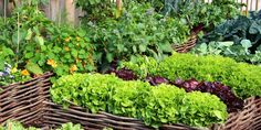 Companion Gardening It's part folklore, part science, but companion planting just may help your garden grow. - Companion planting just may help your garden grow. Vegetable Garden Planner, Raised Vegetable Gardens, Raised Garden Beds, Vegetable Gardening, Raised Beds, Gardening Hacks, Easy Vegetables To Grow, Planting Vegetables, Organic Vegetables