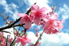 カンヒザクラ 寒緋桜 / Cherry blossoms