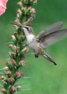 Flying Hummingbird by Mish Kulaga